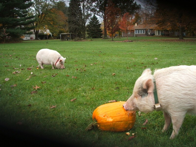 Canine Safety Trains Pigs