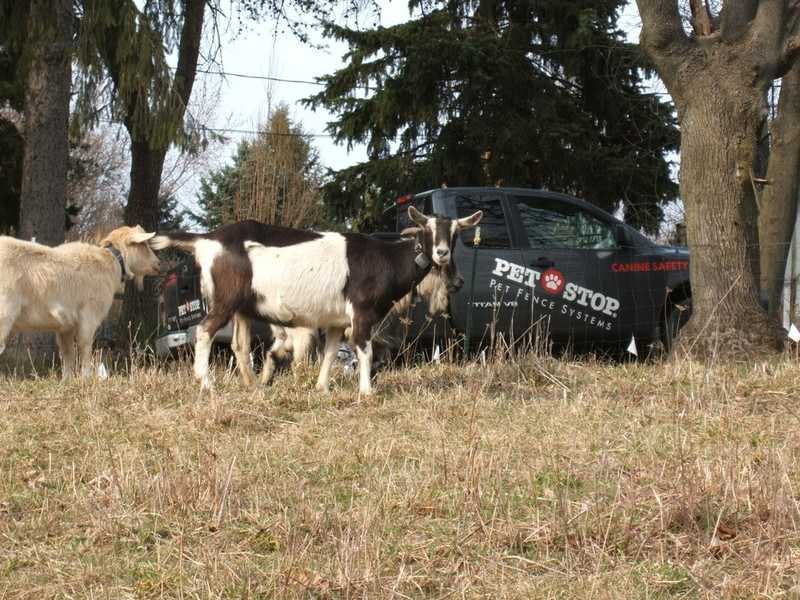 Canine Safety Trains goats